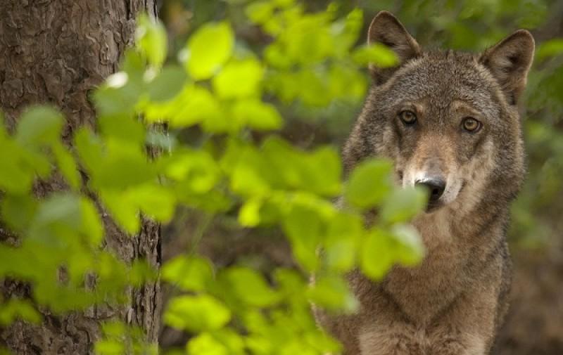 Toscana: presentati risultati della piattaforma per coesistenza con i lupi