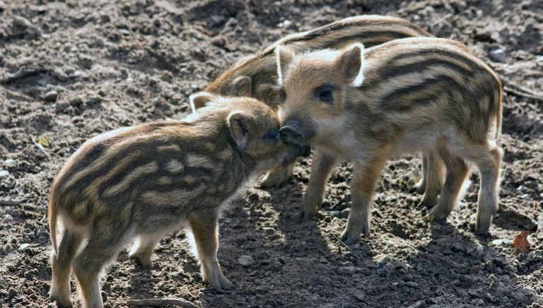 Tar Toscana sospende caccia al cinghiale in braccata