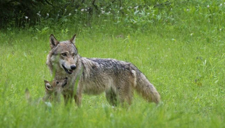 Corte di Giustizia Europea: la caccia al lupo non riduce il bracconaggio