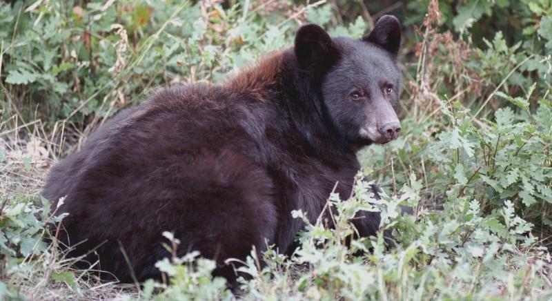 Orso M49: Provincia di Trento smetta di speculare su lupi e orsi