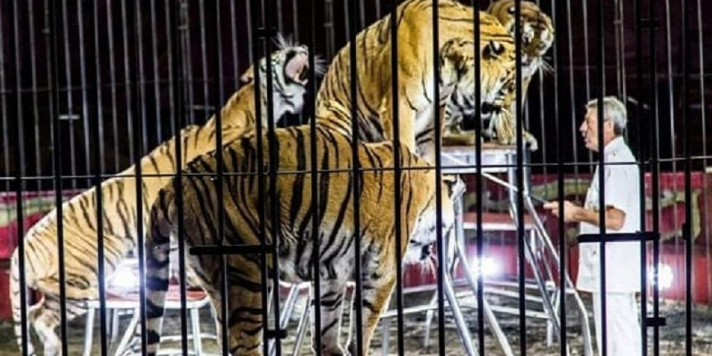 Italy, an announced tragedy: tamer killed by 4 tigers. Stop circus with animals!
