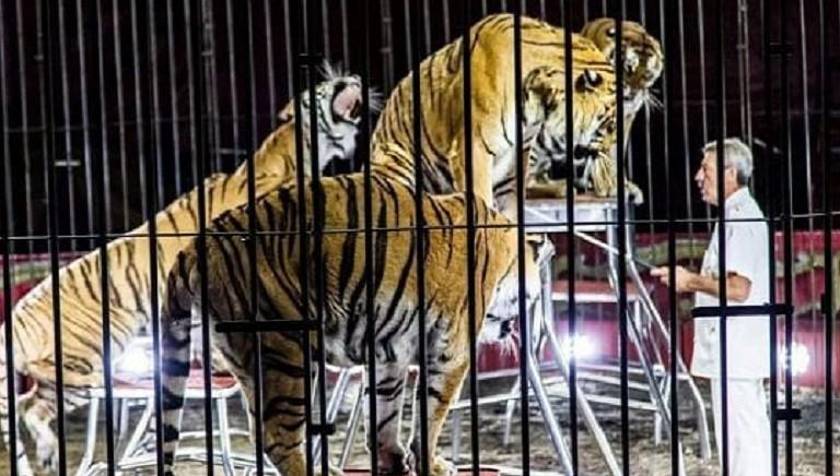 Circo, tragedia annunciata: domatore sbranato da tigri. #CAMBIACIRCO!