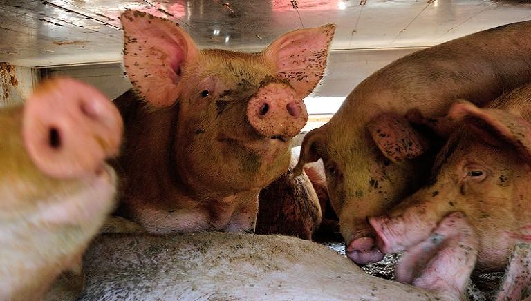Ministero Salute: sopra i 30° non sono autorizzati i trasporti di animali