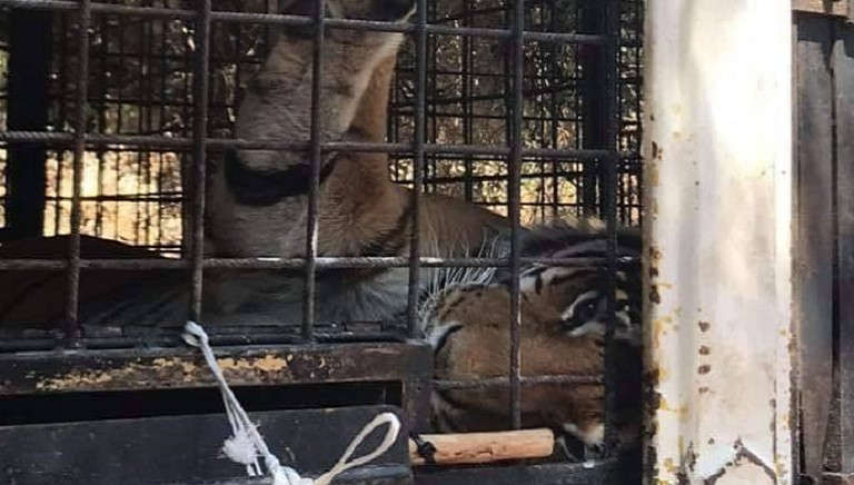 Domatore ucciso: con AAP abbiamo chiesto di prenderci cura delle 8 tigri