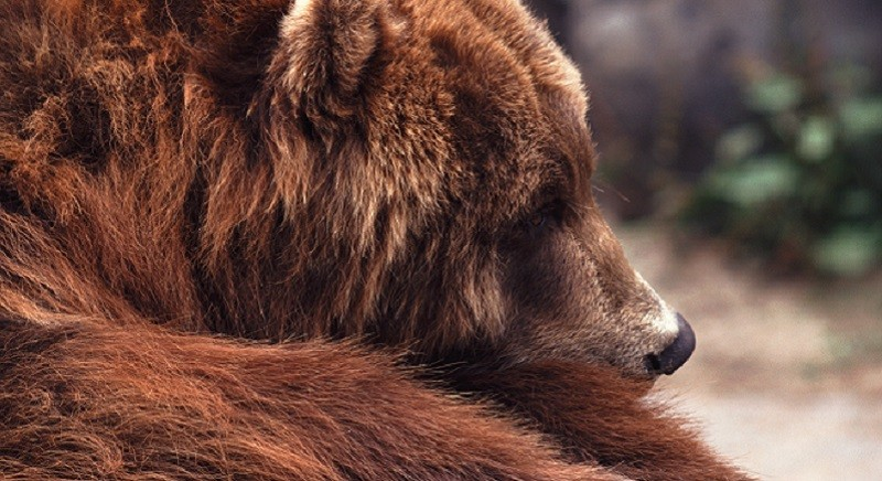 Orso M49 in fuga: NO all'uccisione, decisione scellerata e ingiusta!