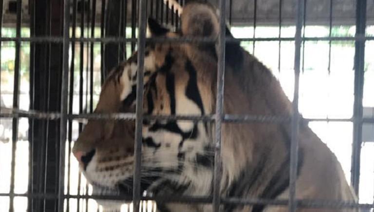 Domatore, le 8 tigri ancora bloccate nel camion: urge soluzione, affidatele a noi!