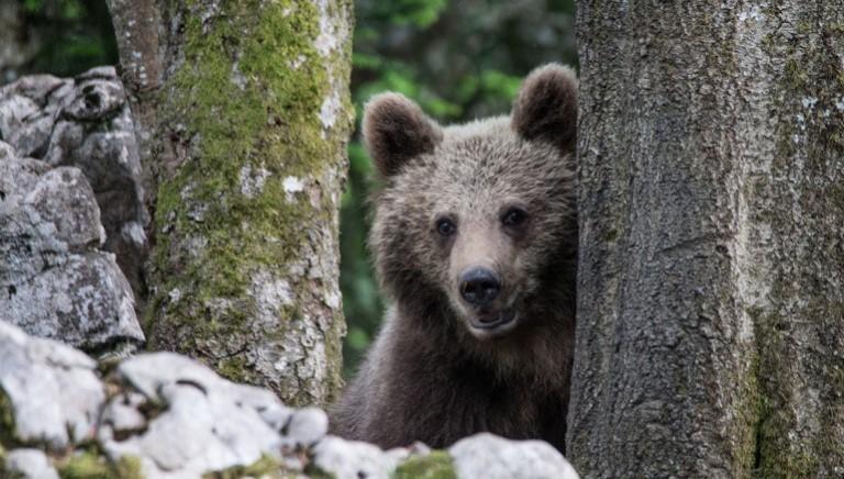 Caccia a M49. 20mila euro: ecco quanto vale la vita di un orso