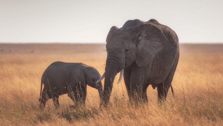 Cites vieta cattura in natura e commercio di elefanti selvatici
