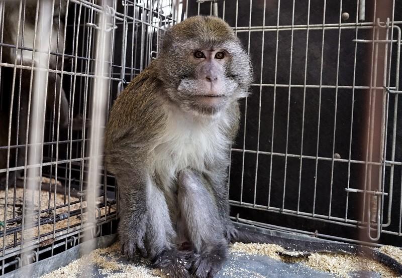 Uno dei macachi che LAV ha salvato dalla sperimentazione