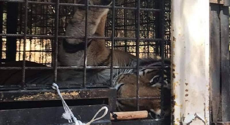Incubo senza fine: le tigri del domatore Weber, divise e vendute all'estero!