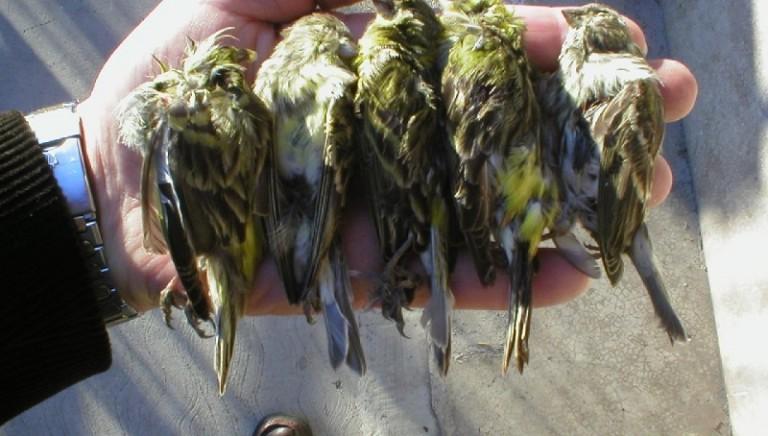 Fermato con 320 uccelli in auto (Bs), rischia la licenza di caccia per 10 anni