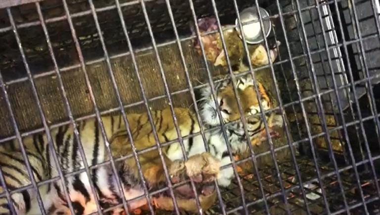 Odissea per 10 tigri dall'Italia alla Russia: una è morta, una in fin di vita