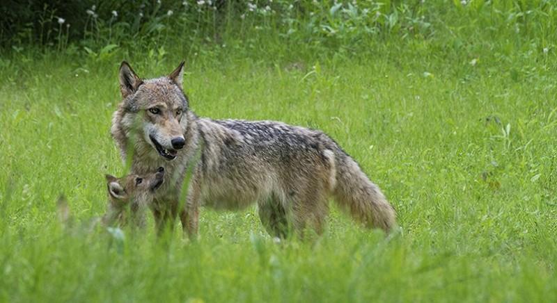 La Norvegia vuole uccidere i lupi: per fermarla, abbiamo scritto ai suoi ministri