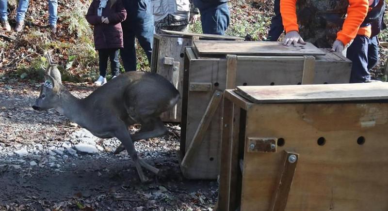 Toscana: un'operazione unica per il trasferimento (incruento) di 16 caprioli