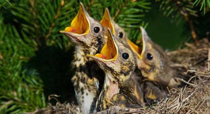 Un nido di piccoli tordi in una foto presa dal web
