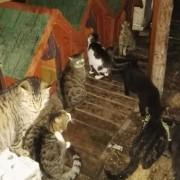 Somministrazione di cibo ai gatti di una colonia felina di Pellestrina