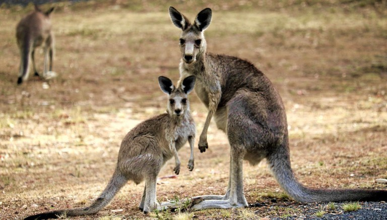 #SAVEKANGAROOS: Pro-Life will no longer use kangaroo meat in pet-food