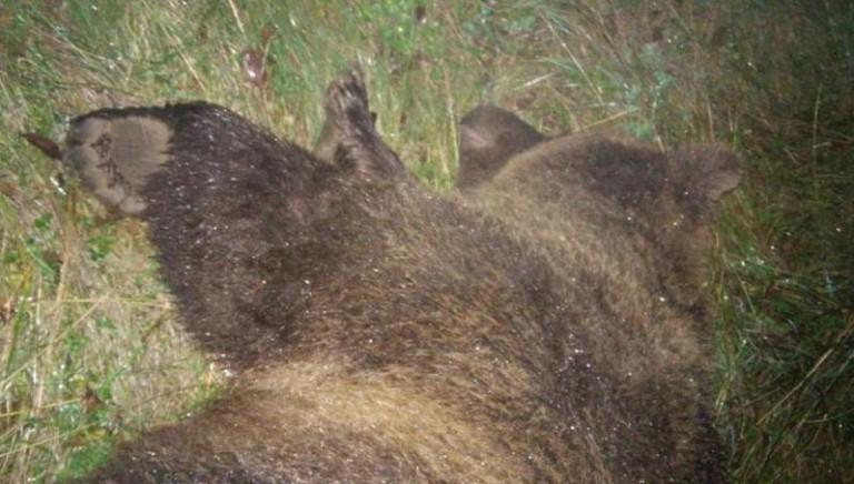 Uccisione orsa KJ2, rinvio a giudizio per Ugo Rossi e Maurizio Zanin