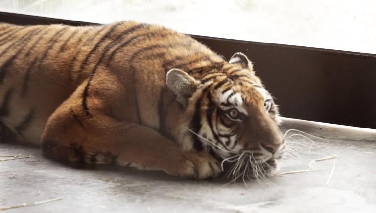 Tigri da Latina alla Russia. Incubo finito per 5 di loro