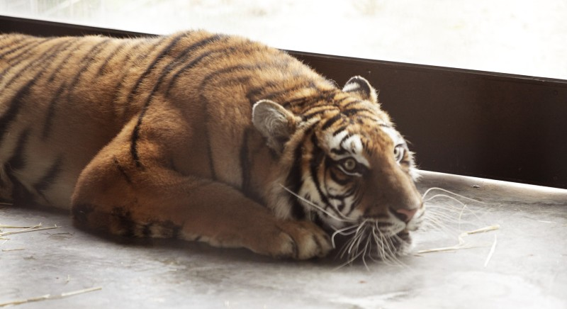 Una delle tigri all'arrivo nel Centro Primadomus (©AAP)