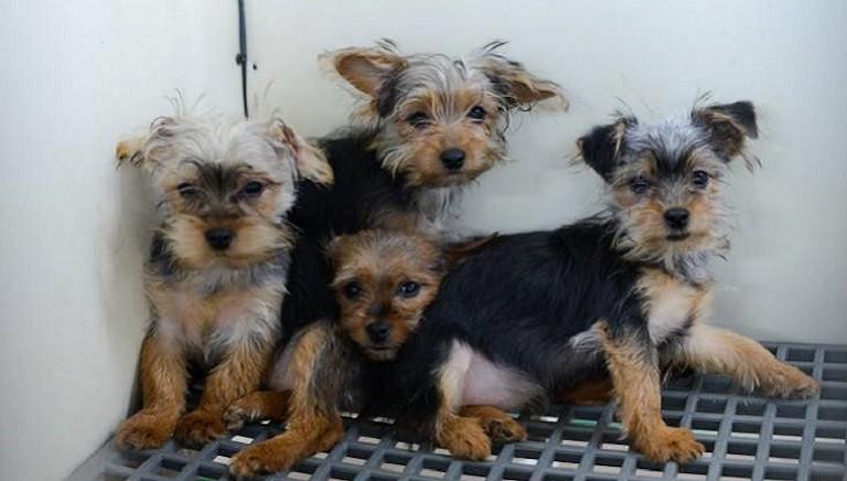 Lodi, maxi processo traffico cuccioli: 3 persone condannate
