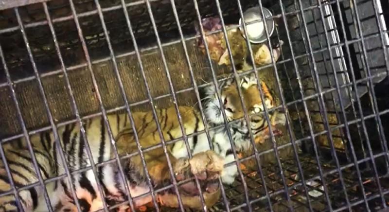 Una delle tigri fermate in Polonia