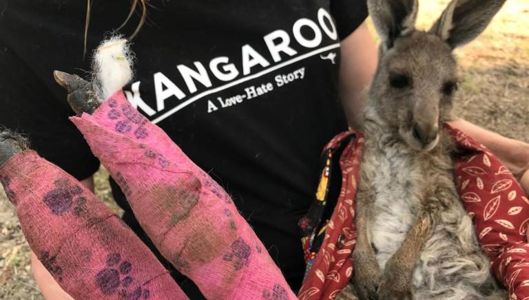 Incendi Australia, nostro appello a Ambasciatore: fermi caccia a canguri