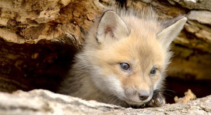 Un cucciolo di volpe, archivio LAV