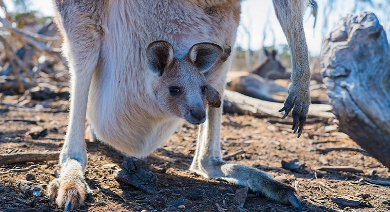 Buone notizie per l'Australia: Versace dice basta alla pelle di canguro!