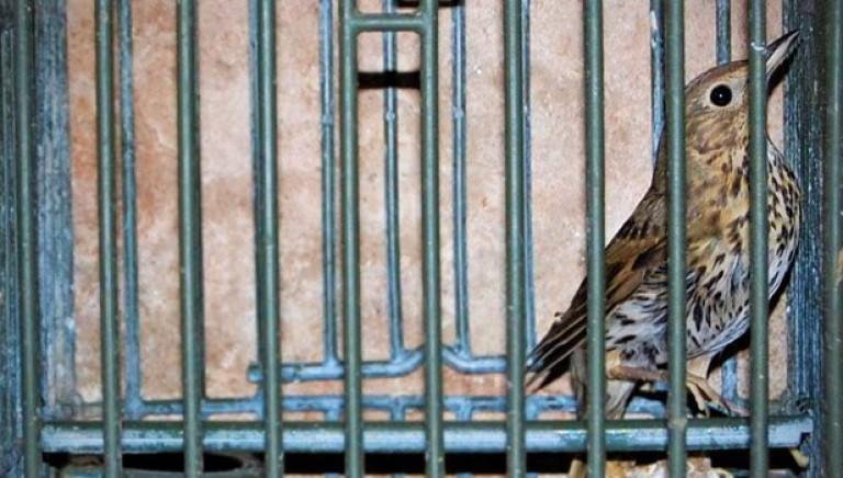 Traffico illegale di uccelli da richiamo, tre bresciani a processo