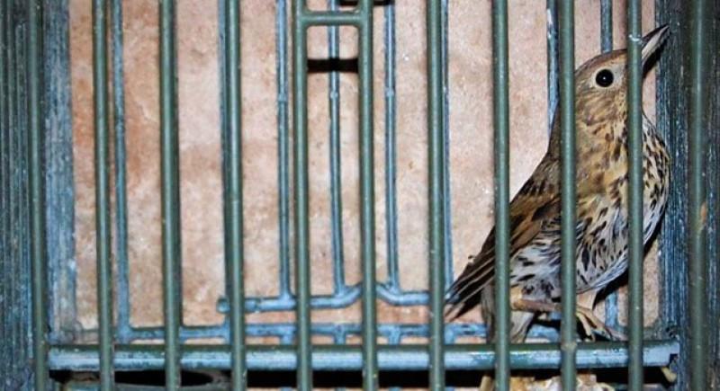 Un uccello da richiamo