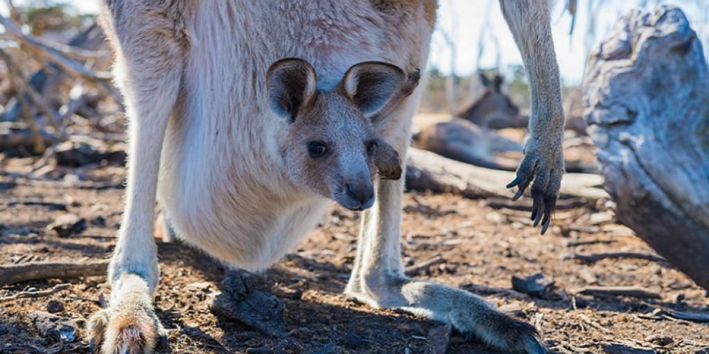 Kangaroo hunting: the shocking response of the Australian Ambassador