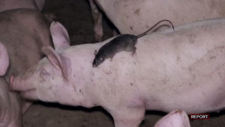 LAV al Festival del Giornalismo alimentare con inchieste su fabbriche animali