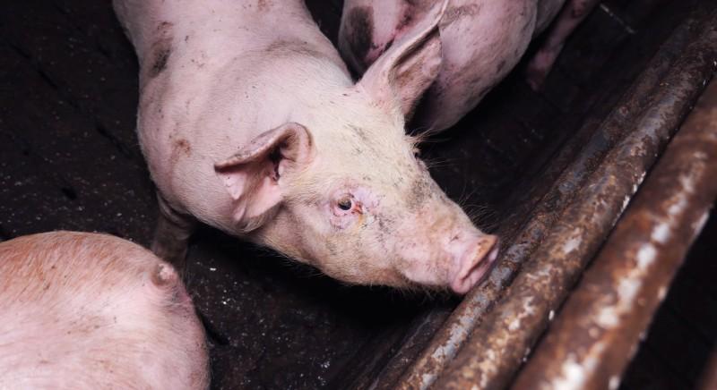 In anteprima a Le Iene nostra investigazione su allevamento choc di maiali