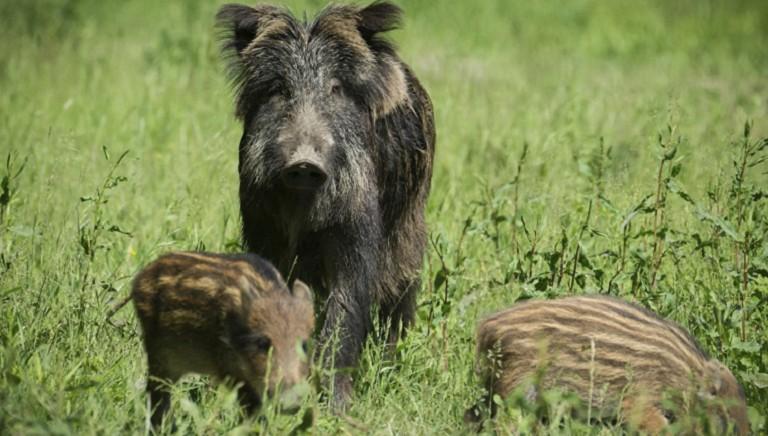 Fermare piani controllo fauna selvatica: rischi diffusione coronavirus