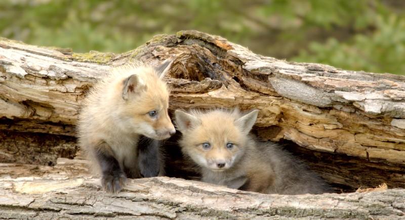 Chiediamo stop a piani controllo fauna selvatica anche in Veneto