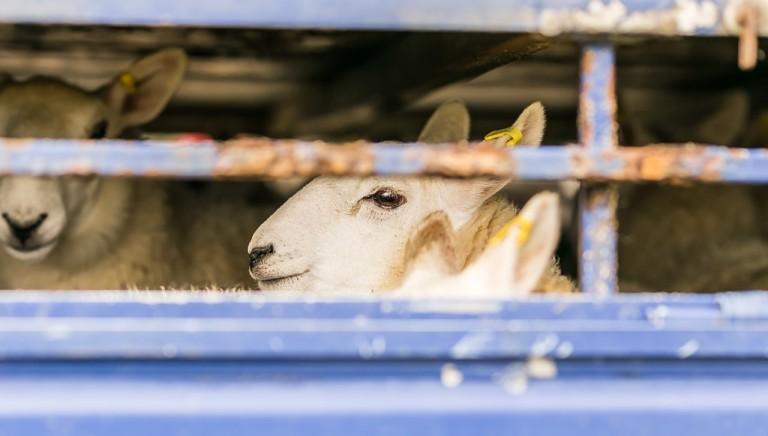 Lotta al Covid-19, gravi deroghe alla macellazione degli agnelli