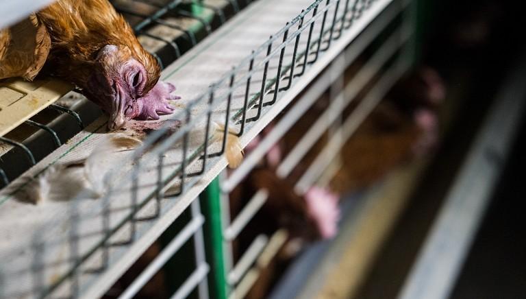 Governo e Comm.ne UE: per prevenire pandemie, NO a sfruttamento animali!