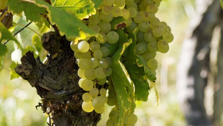 Qualita' e sostenibilita' nella filiera vitivinicola grazie alle soluzioni Novamont