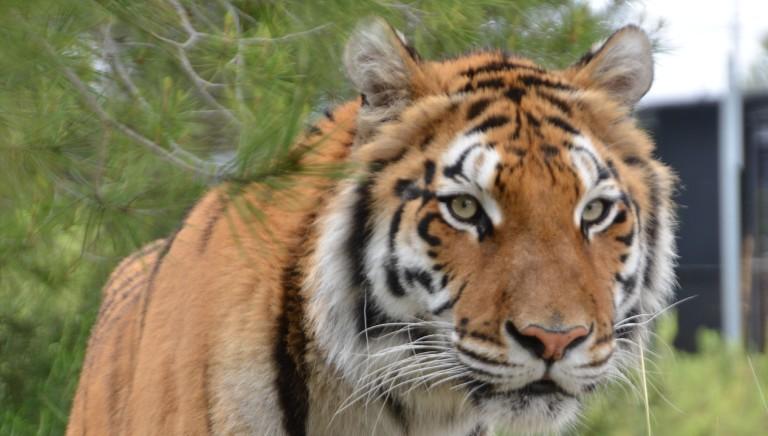 Esotici, lettera a Costa: adottare Decisione CITES che vieta commercio tigri