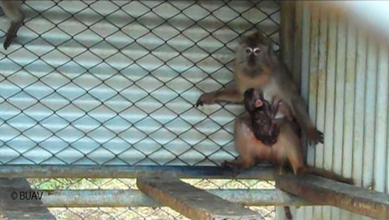 Macachi dalle Mauritius: fermiamo il traffico di animali per i laboratori