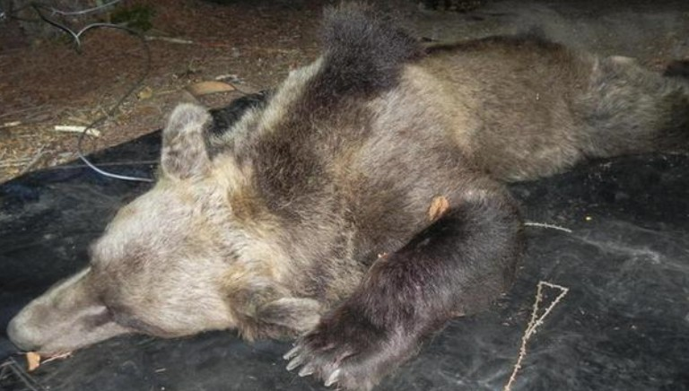 Trento: no a ennesima ordinanza 'spara-orso'. Accertare reali dinamiche fatti