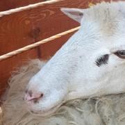 Una delle pecore trasferite