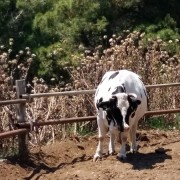 Una mucca di Gorgona