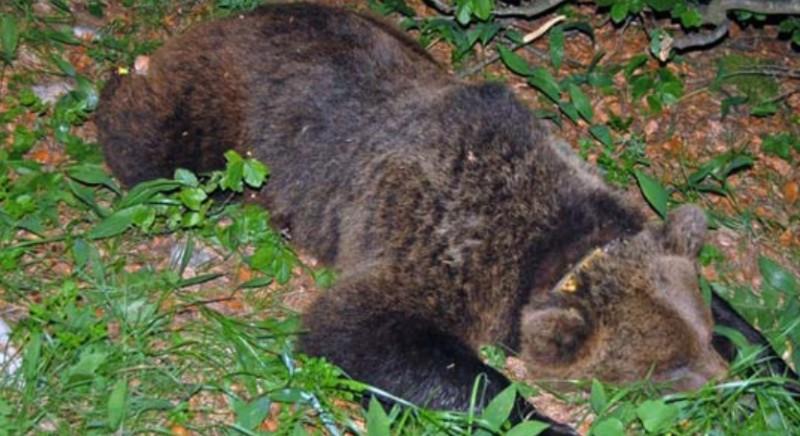 Nessuno uccida l'orsa che si e' scontrata con un uomo in Trentino