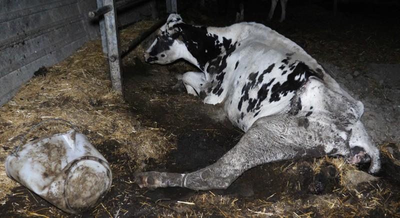 Allevamento mucche a Robecco d'Oglio (Cremona), chiediamo nuove indagini