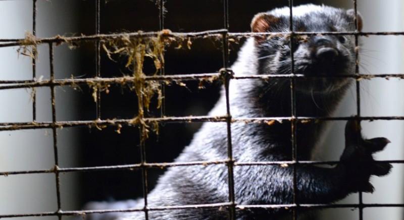 Piaga Covid-19: in Spagna confermato focolaio in allevamento visoni