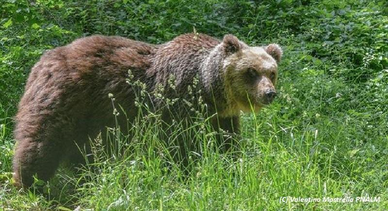 TAR di Trento: l'orsa JJ4 e' salva, sospesa l'ordinanza di uccisione!