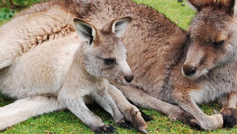 Buone notizie: Prada non usera' piu' pelli di canguro