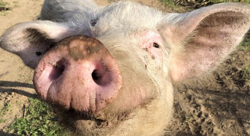 """Miki, il maiale """"vagante"""" salvato dalla LAV di Sassari"""